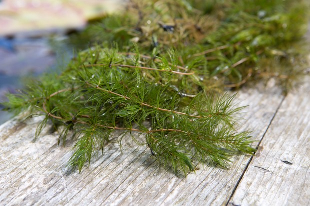 spiked-water-milfoil-myriophyllum-spicatum