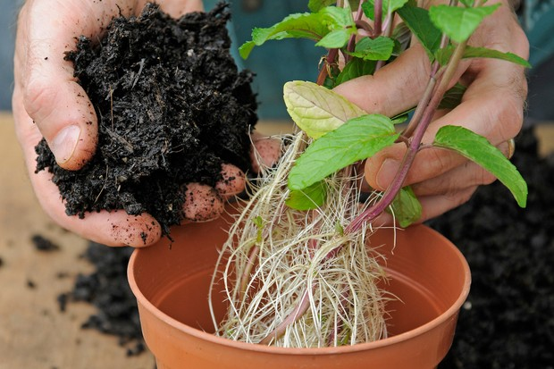 planting-the-cuttings-in-a-pot-2