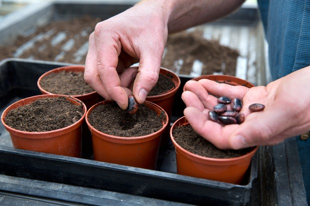 Sowing beans individually in pots