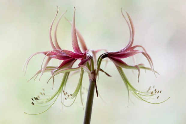 Green and pink, spidery blooms of Hippeastrum 'Chico'