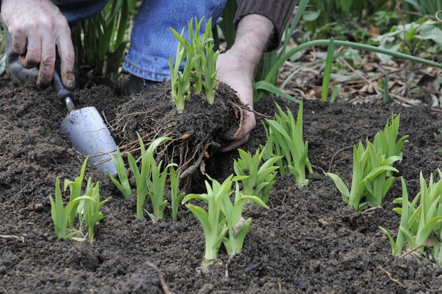 replanting-divided-perennials-2