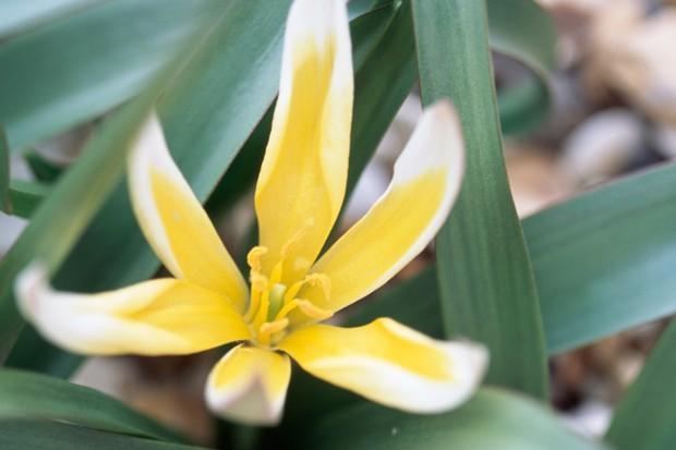 tulipa-tarda-2