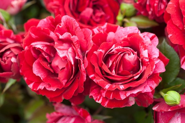 Rose 'Durrell' flowers