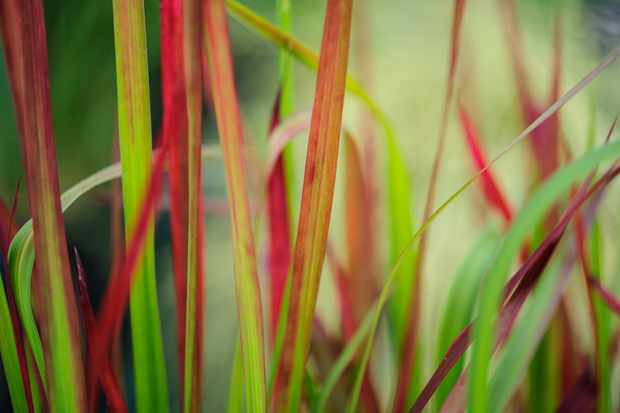 japanese-blood-grass-imperata-cylindrica-red-baron-2