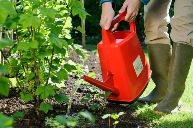 Watering an establishing shrub