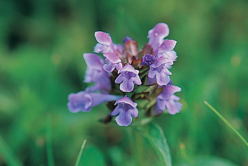 Purple-flowering self-heal