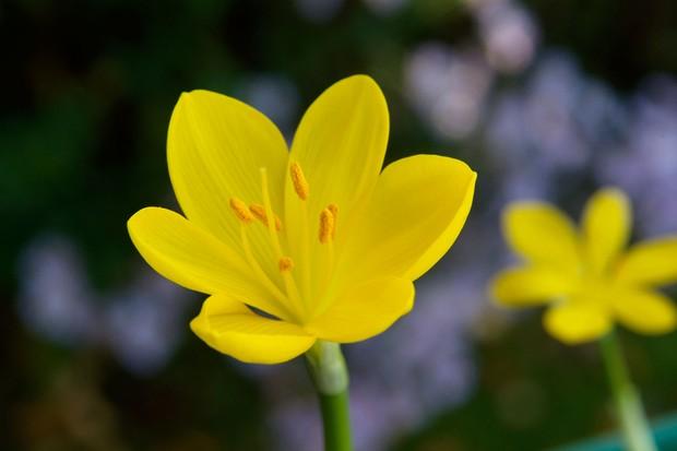 Bright-yellow flowers of <em>Sternbergia lutea</em>