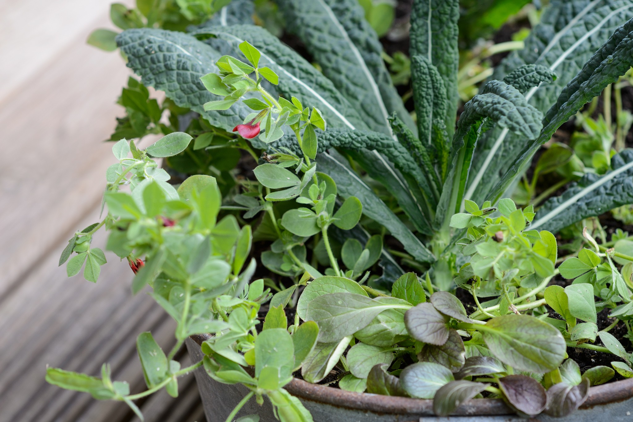 Kale, pak choi and asparagus pea pot