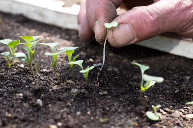 thin-the-seedlings-to-30cm-apart-2