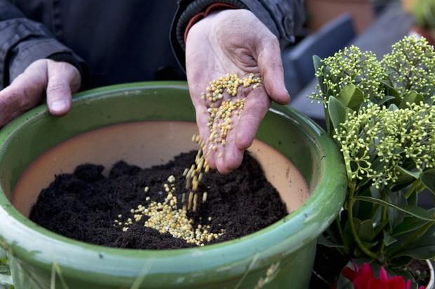 Cyclamen, carex, ivy and skimmia pot display - adding fertiliser