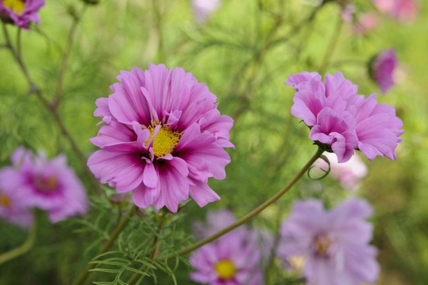 cosmos-bipinnatus-fizzy-pink-2