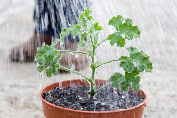 Potted pelargonium