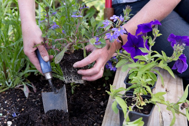 How to grow summer bedding - planting out