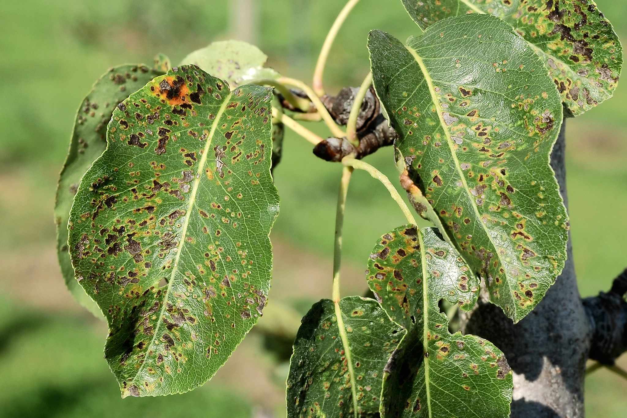 Pear tree leaves marked with blistering and discolouration caused by mites