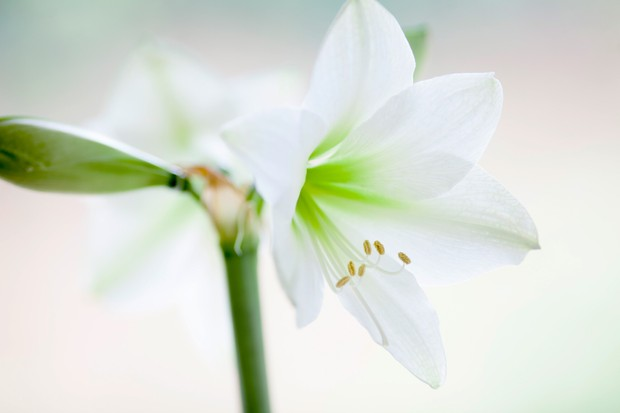 Amaryllis 'Green Goddess': smaller white blooms with apple-green centres