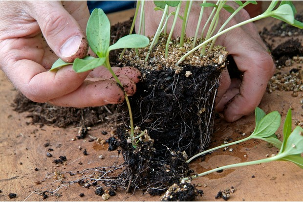 pricking-out-the-seedlings-2