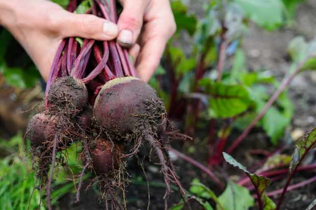 harvesting-beetroot-7