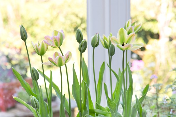 Pale pink, lemon and green tulips flowering indoors