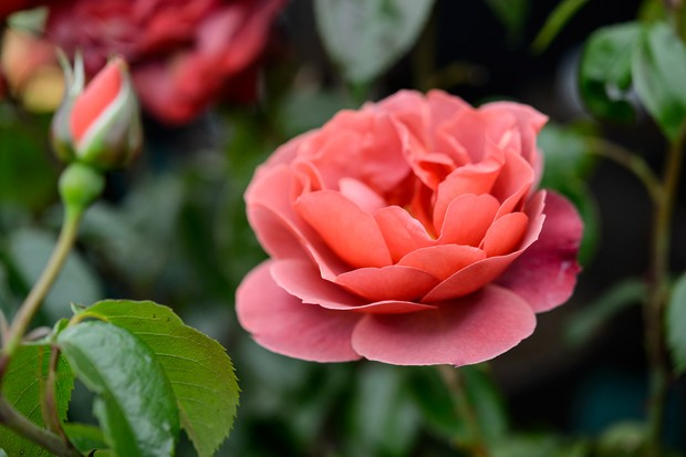 Peachy-pink rose 'Hot Chocolate' bloom
