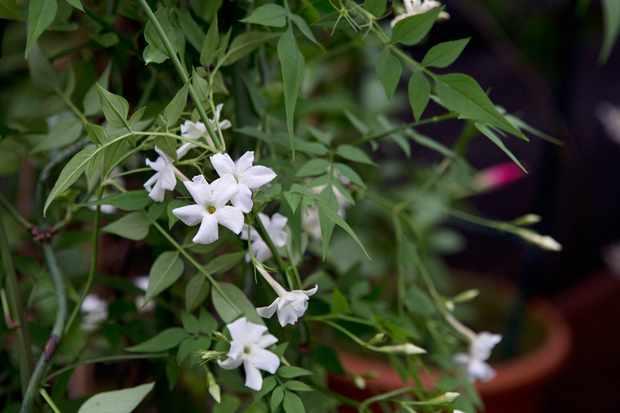 common-jasmine-3