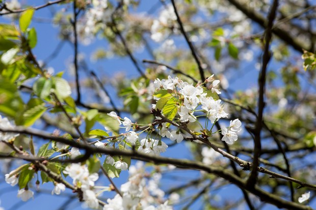 Cherry blossom, Prunus avium