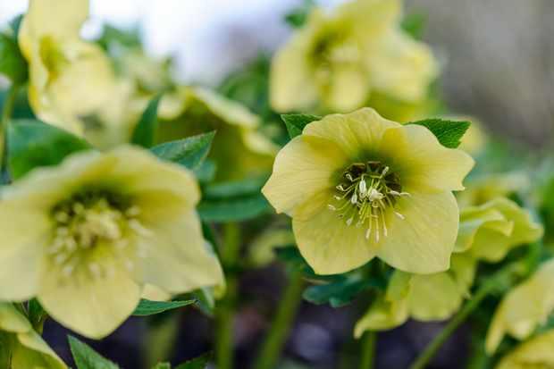 Helleborus Garden Yellow