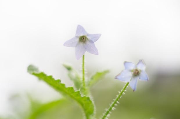 Pygmy borage in flower