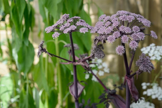 Large purple flowerheads and foliage of <em> Angelica gigas</em>