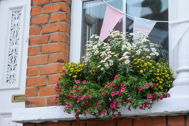 bidens-and-petunia-window-box-3
