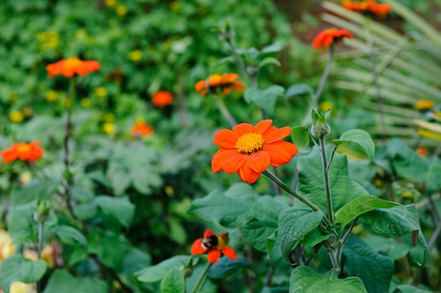 mexican-sunflowers-4