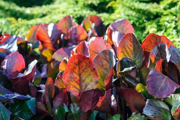 brugmansia-cordifolia-purpurea-2