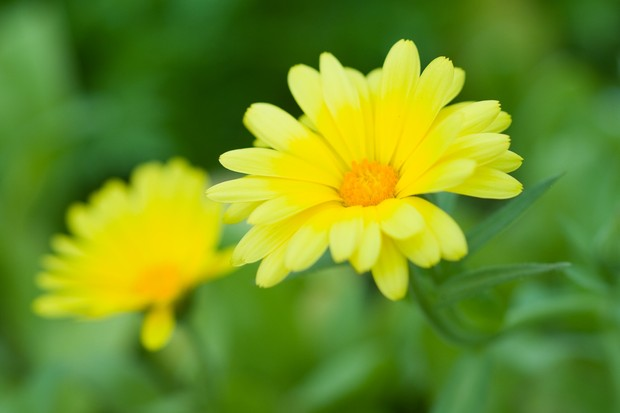 Lemon yellow calendula flowers