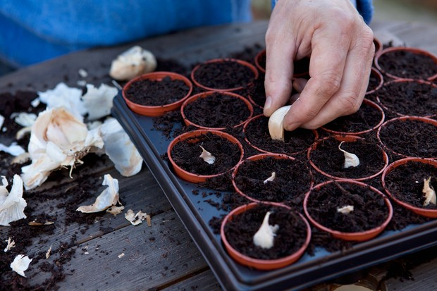 starting-off-garlic-in-pots-under-cover-2
