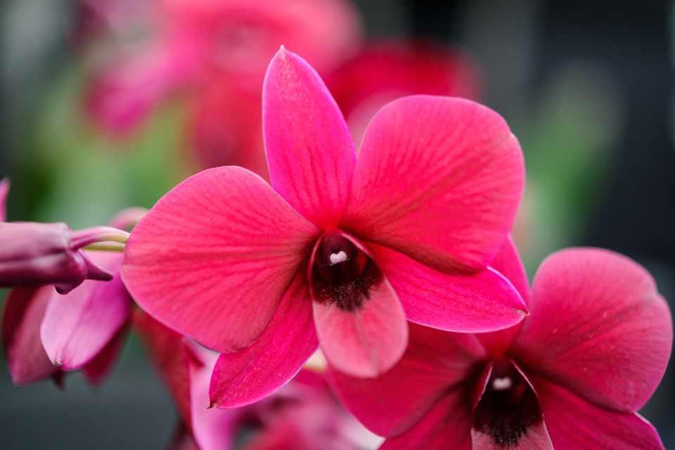 Dendrobium 'Thailand Black'