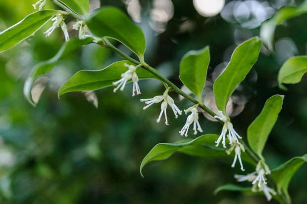 Delicate white flowers hanging along a stem of <em>Sarococca confusa</em>