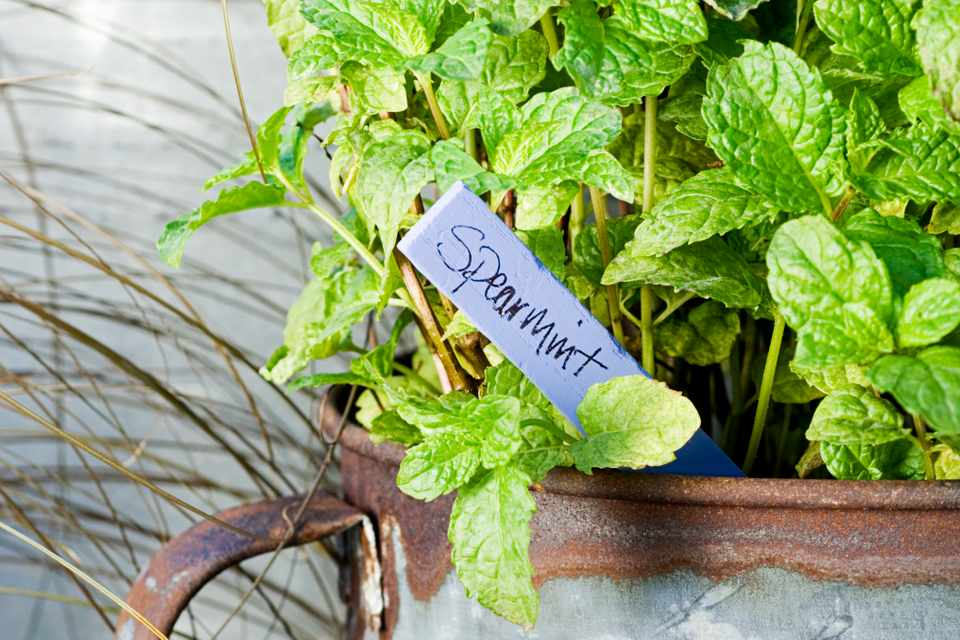 Spearmint growing in a pot