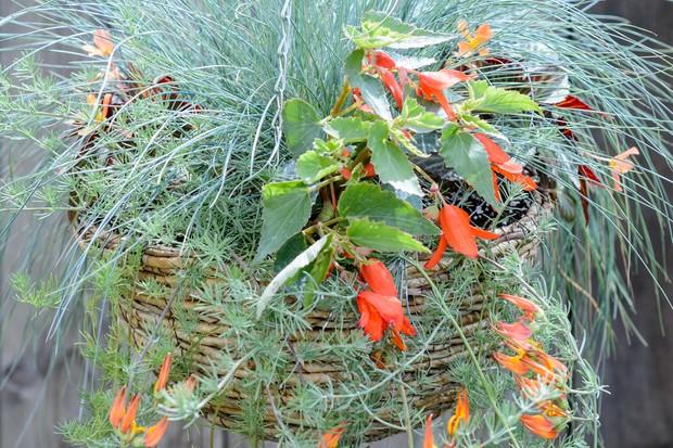 hanging-basket-display-with-begonias-and-festuca-2