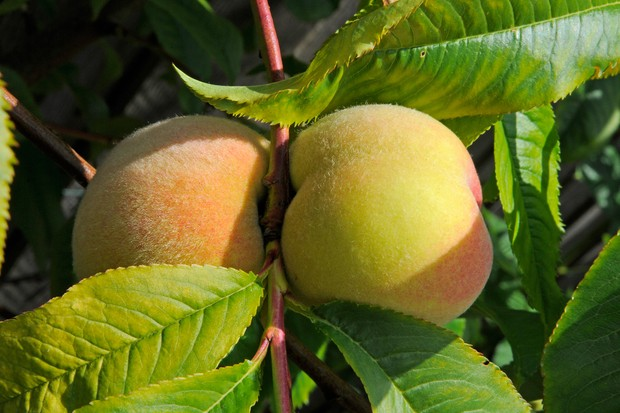 Peaches ripening on a branch
