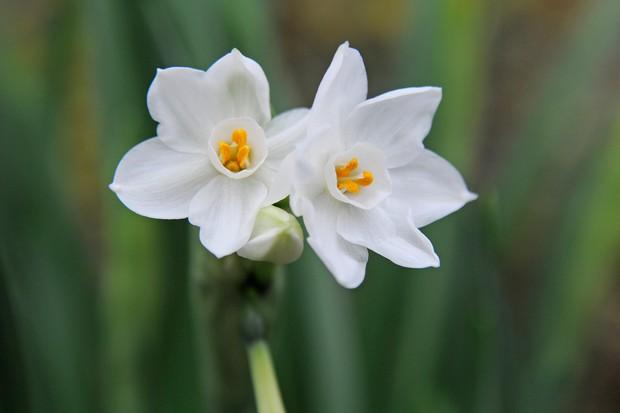 narcissus-papyraceus-3