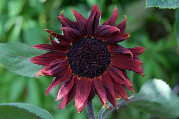 helianthus-black-magic-3