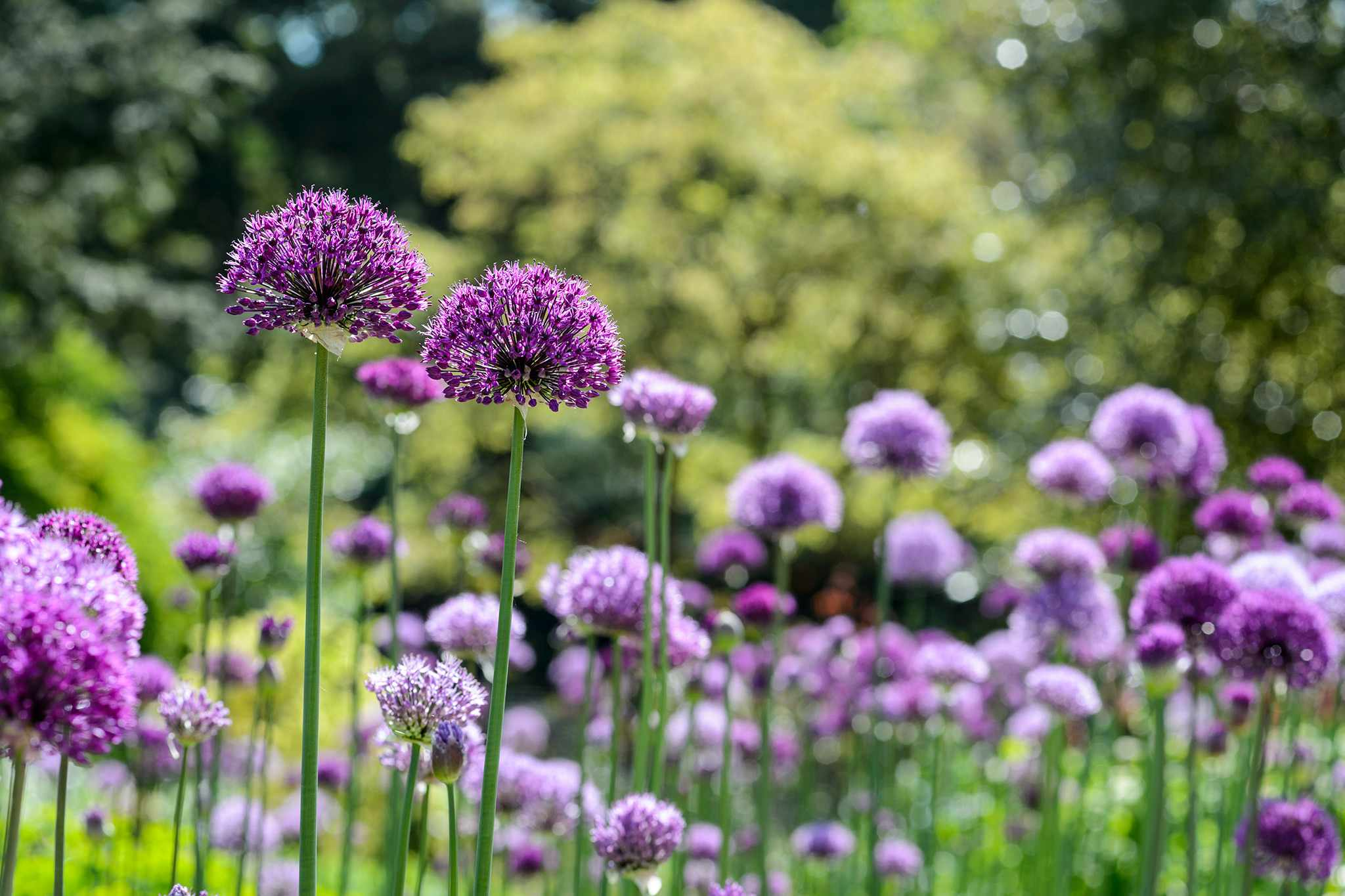 Alliums in flower