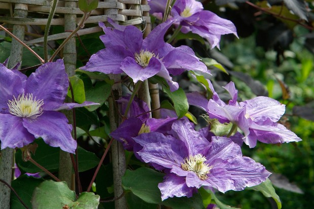 Purple clematis growing up an obelsik
