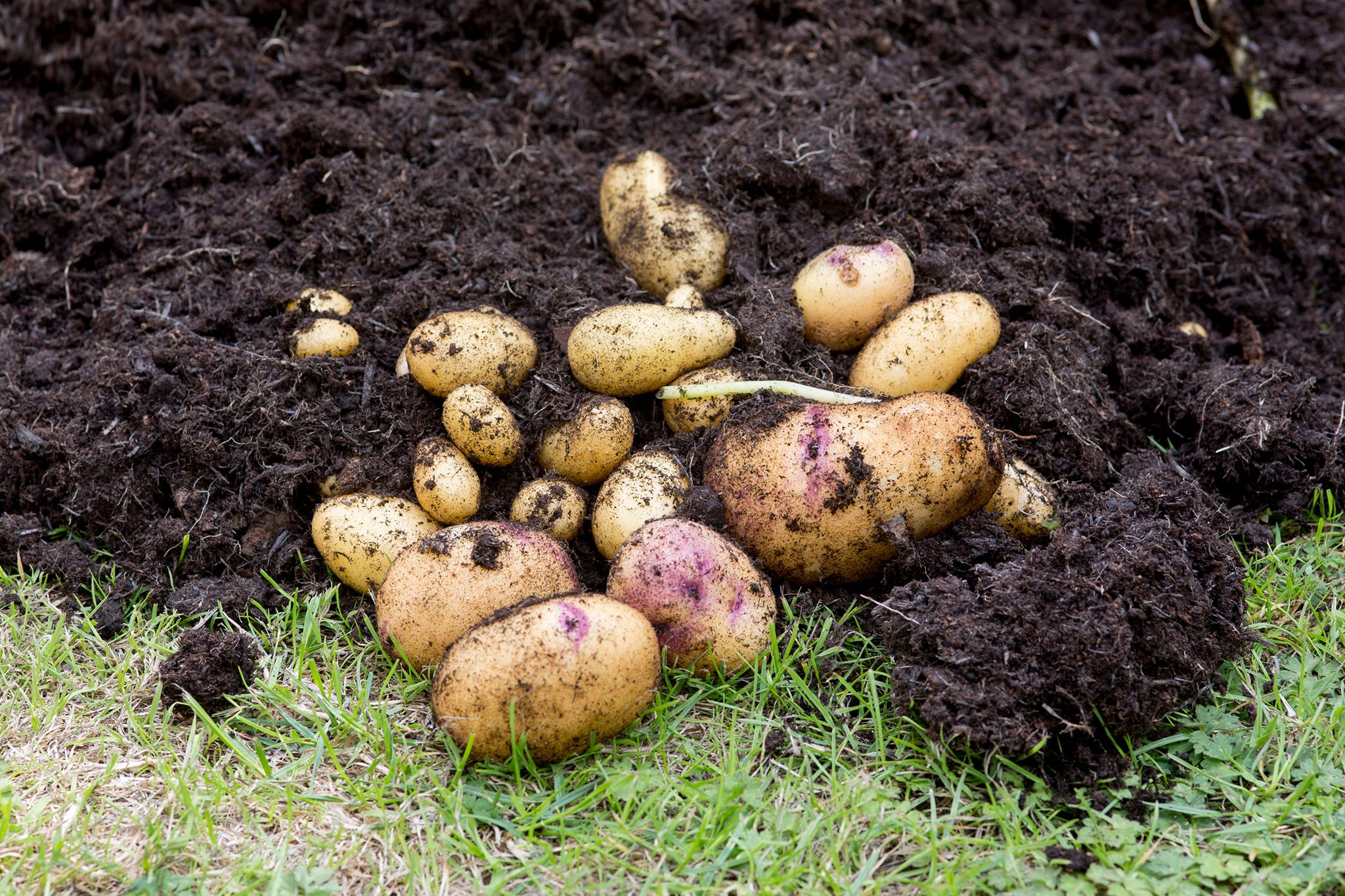 Second early potatoes