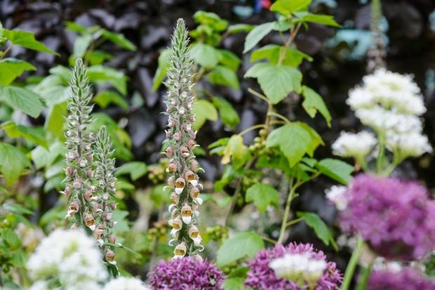 Spires of pale foxglove flowers beside purple aliums