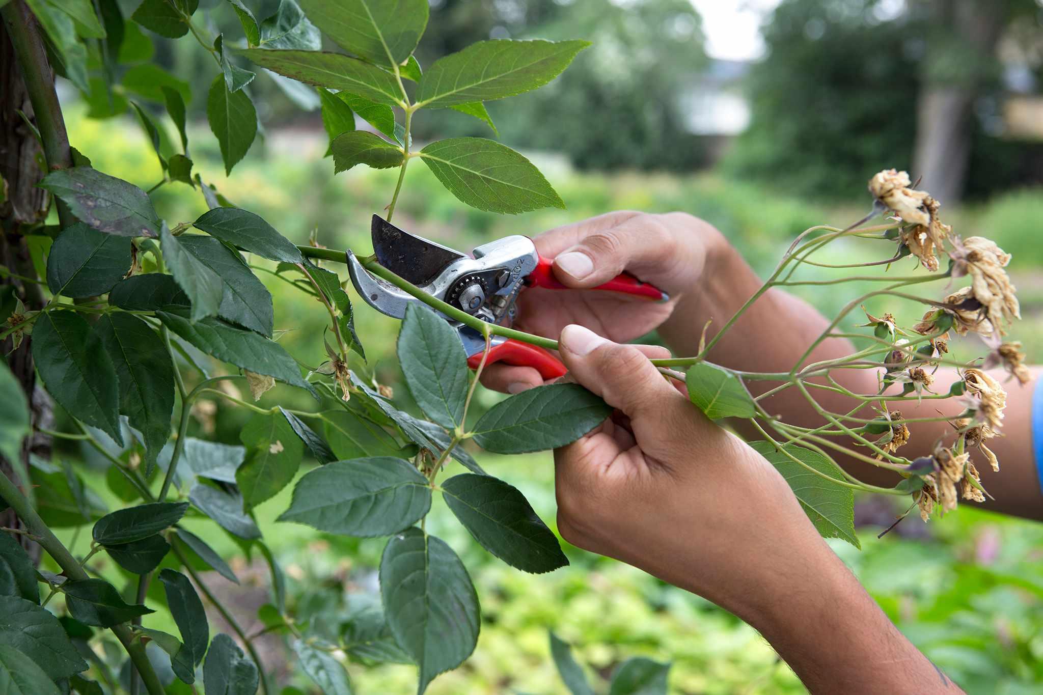 Pruning rambling rose