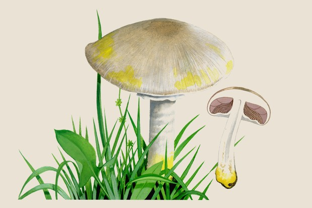 agaricus-xanthodermus-3