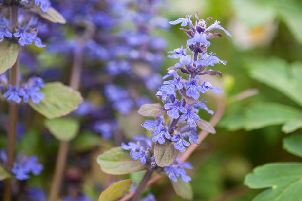 Small blue ajuga flowers