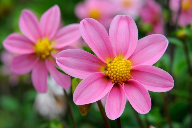 pink-single-dahlia-3