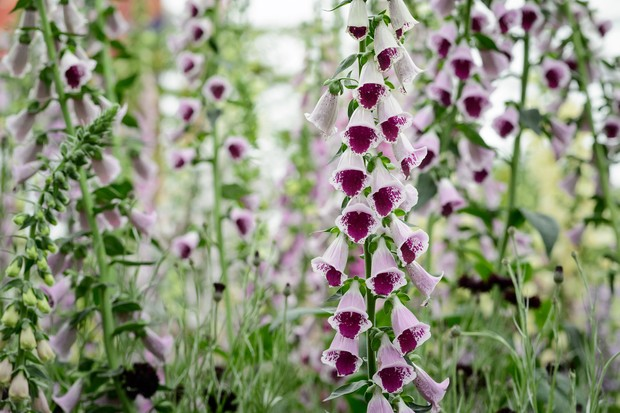 digitalis-sugar-plum-3