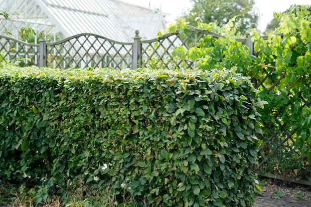 A hedge of hornbeam